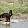 Greater Spotted Eagle, Schelladler, Aquila clanga