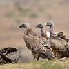 White-backed Vulture, Weissrückengeier, Gyps africanus + Rüppell's Vulture, Sperbergeier, Gyps rueppellii