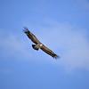Rüppell's Vulture, Sperbergeier, Gyps rueppellii