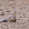 Chestnut-bellied Sandgrouse - Braunbauchflughuhn - Pterocles exustus ♀