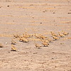 Chestnut-bellied Sandgrouse - Braunbauchflughuhn - Pterocles exustus