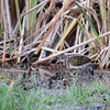 Greater Painted Snipe, Goldschnepfe, Rosttratula benghalensis