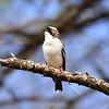 White-browed Sparrow-weaver, Weißbrauenweber, Plocepasser mahali