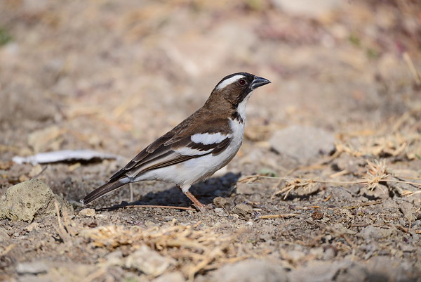 White-browed Sparrow-Weaver, Weissbrauenweber, Plocepasser mahali
