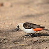 White-headed Bufallo-Weaver, Starweber, Dinemellia dinemelli