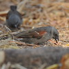 Northern Grey-headed Sparrow, Graukopfsperling, Passer griseus