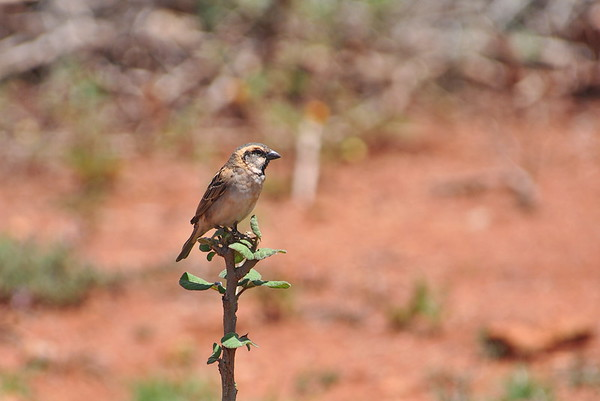 Shelley's Rufous Sparrow, Shelley-Sperling, Passer shelleyi