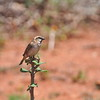 Shelley's Rufous Sparrow, Shelley-Sperling, Passer shelleyi
