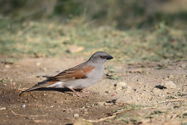 Swaison's Sparrow, Swaisonsperling, Passer swaisonii