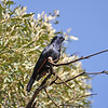 White-billed Starling - Weissschnabelstar - Onychognathus albirostris ♂