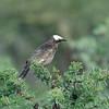 White-crowned Starling, Weissscheitelstar, Spreo albicapillus