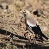Wattled Starling - Lappenstar - Creatophora cinerea ♂