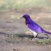 Violet-backed Starling, Amethystglanzstar, Cinnyricinclus leucogaster ♂
