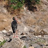 Black Stork, Schwarzstorch, Ciconia nigra