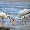 Yellow-billed Stork, Nimmersatt, Mycteria Ibis + African Spoonbill, Afrikanischer Löffler,  Platalea alba