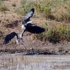 Marabou Stork, Marabu, Leptoptilos crumeniferus vs African Fish eagle, Afrikanischer Schreiseeadler, Aquila vocifer