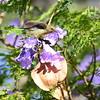 Olive Sunbird, Olivnektarvogel, Cyanomitra olivacea