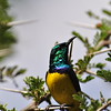 Collared Sunbird - Waldnektarvogel - Hedydipna collaris ♂