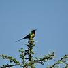 Beautiful Sunbird - Elfennektarvogel - Cinnyris pulchellus ♂