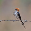 Lesser-Striped Swallow, Maidschwalbe, Cecropsis abyssinica