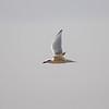 Gull-billed Tern, Lachseeschwalbe, Sterna nilotica