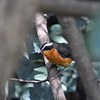 Rüppell's Robin-Chat, Braunrückenrötel, Cossypha semirufa