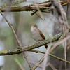 Common Nightingale, Nachtigal, Luscinia megarhynchos