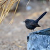 Black Scrub Robin, Russheckensänger, Cercotrichas podobe