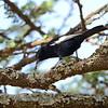 White-winged Black Tit, Rüppellmeise, Parus leucomelas