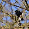 White-winged Black Tit, Rüppelmeise, Parus leucomelas
