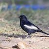 White-winged Black-Tit, Rüppelmeise, Parus leucomelas
