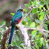 Narina Trogon - Narinatrogon - Apaloderma narina ♀