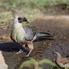 Bare-faced Go-away-bird, Nacktkehllärmvogel, Corythaixoides personatus