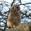 Greyish Eagle-Owl, Grau-Uhu, Bubo cinerascens - juv.