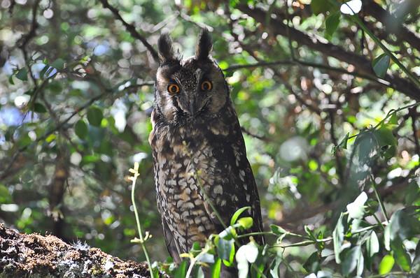 Abyssinian Owl, Afrika- Waldohreule, Asio abyssinicus