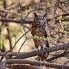 Greyish Eagle-Owl, Grau-Uhu, Bubo cinerascens