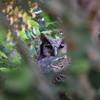 Verreaux's Eagle-Owl, Blassuhu, Bubo Lacteus