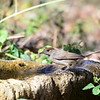 Blackcap   -  Mönchsgrasmücke   -   Sylvia atricappila ♀