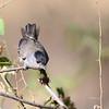 Blackcap   -  Mönchsgrasmücke   -   Sylvia atricappila ♂