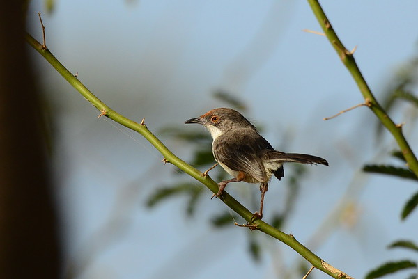 Red-fronted Warbler, Rotstirnprinie, Urorhipis fufifrons