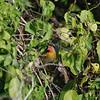 Green-winged Ptylia  - Buntastrild  -  Pytilia melba ♂