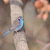 Red-cheeked Cordon-bleu, Schmetterlings-Astrild, Uraeginthus bengalus ♂