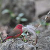Red-billed Firefinch, Senegalamarant, Lagonosticta senegala ♂