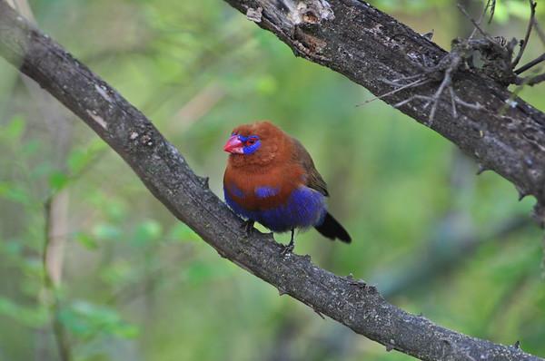 Purple Grenadier - Veilchenastrild - Uraeginthus ianthinogaster ♂