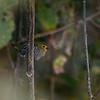 Green-backed Twinspot, Grüner Tropfenastrild, Mandingoa nitidula ♀