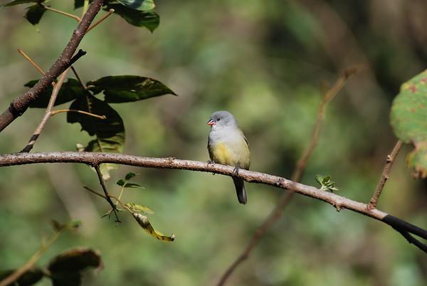 Yellow-bellied Waxbill, Gelbbauchastrild, Coccopygia quartinia
