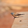 Grey-headed Silverbill, Perlhalsamadine, Odontospiza griseicapilla