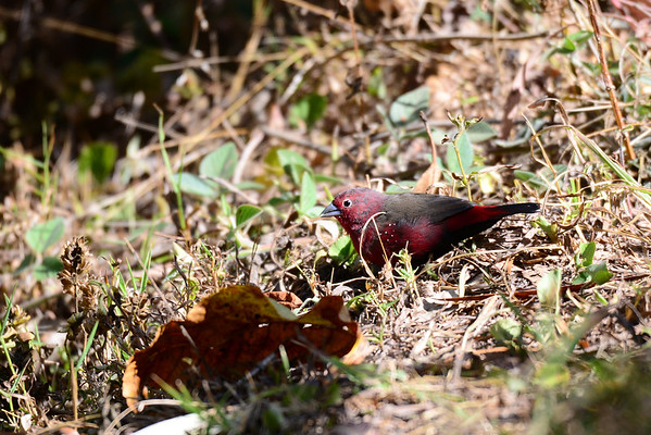 African Firefinch, Dunkelamaranth, Lagonosticta rubricata ♂