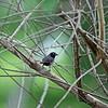 Black-faced Firefinch - Larvenamarant  - Lagonosticta larvata ♂