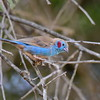 Red-cheeked Cordon-bleu, Schmetterlings-Astrild, Uraeginthus bengalus ♂